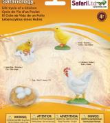 Life Cycle of a Chicken - 4 Realistic Models