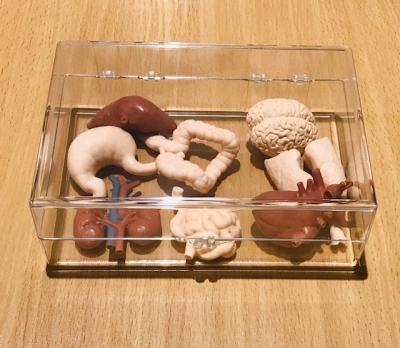 Human Organs Set with Box