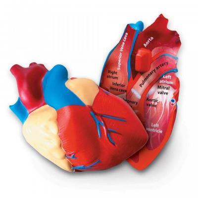 Soft Foam Cross-Section Human Heart Model
